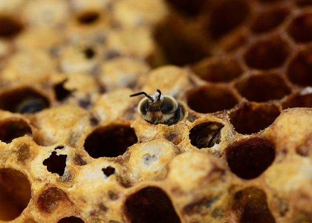 nacimiento de la abeja adulta desde el huevo