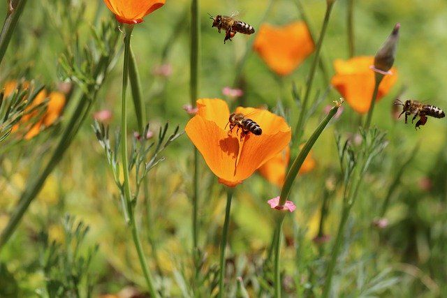 abeja polinizando una amapola