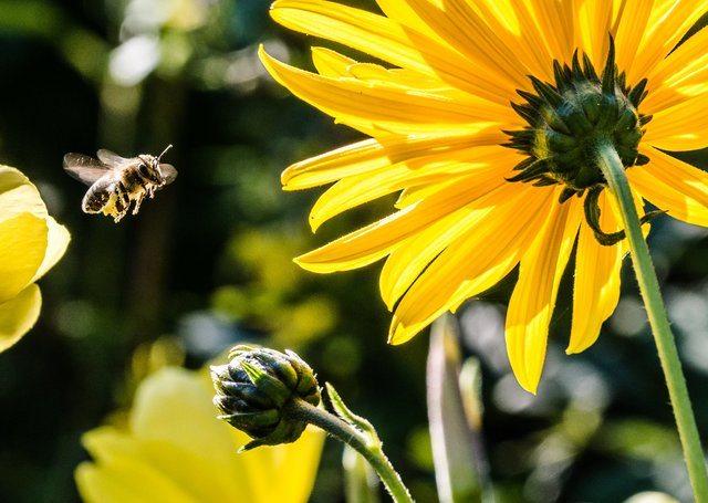 abeja en flor con alimento