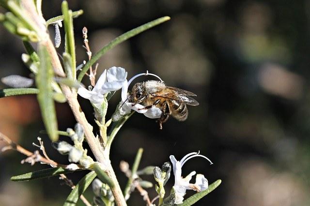 abeja en romero