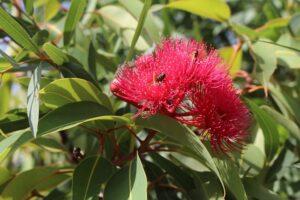 abeja polinizando flor de eucalipto