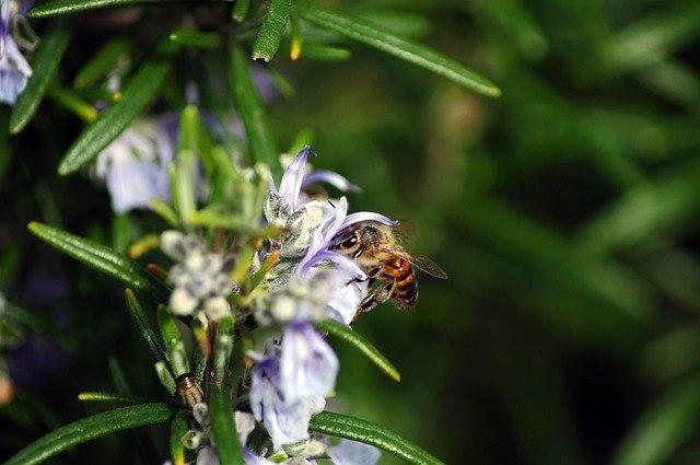 abeja polinizando romero