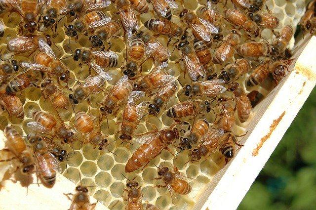abeja reina africana en un panal