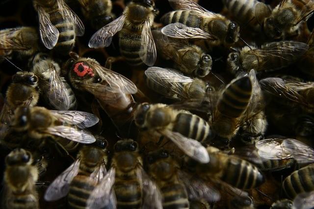 una abeja reina marcada de rojo
