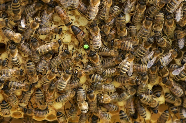 una abeja reina marcada de verde
