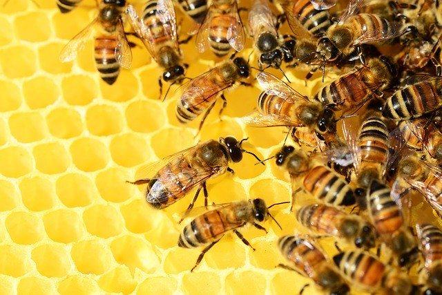 panal de miel con abejas melíferas