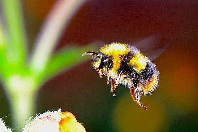 abejorro volando