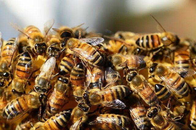 conseguir abejas