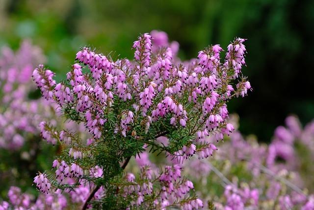 planta de brezo